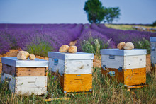 Bee Hives On Lavender Fields