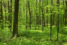 Lush Green Maple Trees In Forest In Spring Time