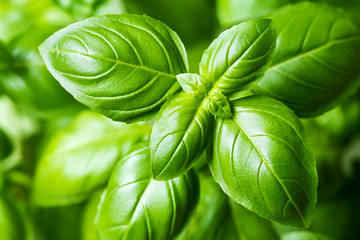 FototapetaFresh basil leaves