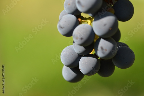 Fotografie, Obraz  Cabernet Sauvignon Traube rot hintergrund grün