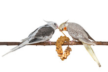 Two Young Cockatiels Feeding On A Bunch Of Foxtail Millet Isolated On White Background