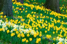Cascade Of Daffodils
