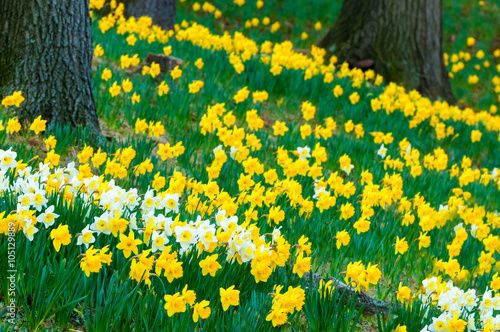 Deurstickers Narcis Cascade of daffodils