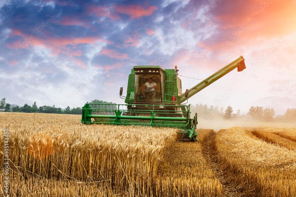 Fototapety, obrazy: Combine harvester harvest ripe wheat on a farm