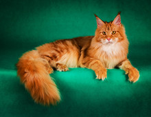 Portrait Of Red Maine Coon Cat On Green Background