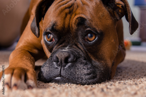 Closeup of our pet boxer