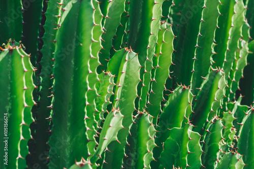 Keuken foto achterwand Cactus Green Cactus closeup. Green San Pedro Cactus, thorny fast growing hexagonal shape Cacti perfectly close captured in the desert..