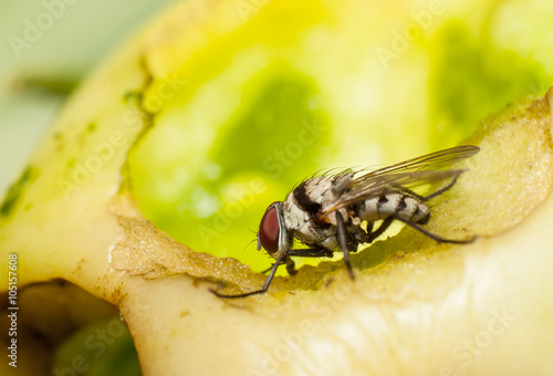 macro, fly feeding on a rotting tomato