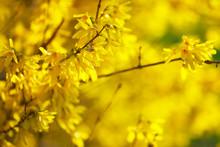 Detail Of Yellow Forsythia Blossom
