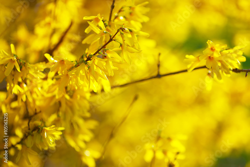 Fotografía Detail of yellow forsythia blossom