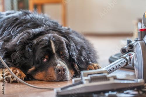 Photo  Hund chillt und lässt sich von einem Staubsauger nicht aus der Ruhe bringen
