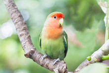 Green With Orange Faced Lovebi...