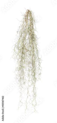 Spanish moss isolate on white