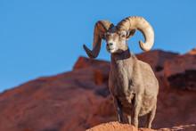 Desert Bighorn Sheep Ram In ...