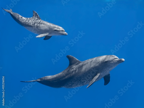 Stampa su Tela Dolphins family (baby and mother) swimming in water of the blue