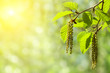 Leinwanddruck Bild - Spring background with branch with catkins of alder