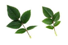 Green Rose Leaves