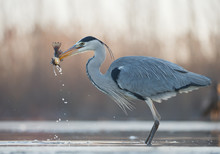 Grey Heron Standing In The Water With Big Fish In The Beak, Clean  Background, Hungary, Europe