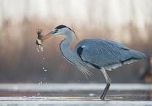 Grey Heron Standing In The Wat...
