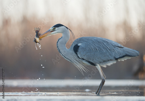 Fotomural Grey heron standing in the water with big fish in the beak, clean  background, H