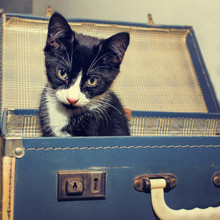 Kitten In Vintage Suitcase. Re...