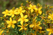 Yellow Beautiful Flowers Of St.-John's Wort