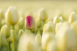 Fototapeta Tulipany - One red Dutch tulip