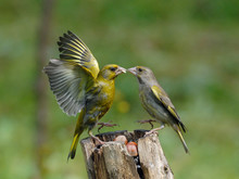 Greenfinches Scandal On Feeder