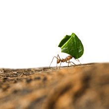 Leaf-cutter Ant Carrying Leaf ...
