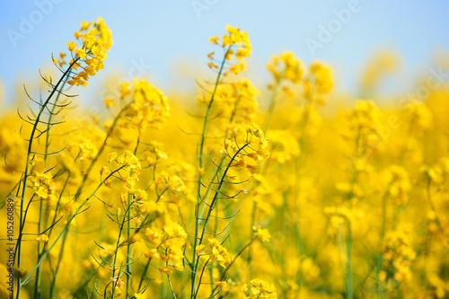Foto op Plexiglas Weide, Moeras Beautiful rape flowers