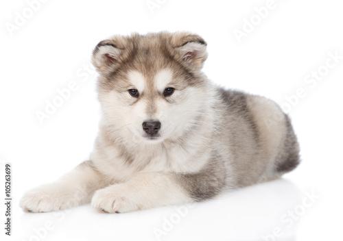 Photo Alaskan malamute puppy lying. isolated on white background