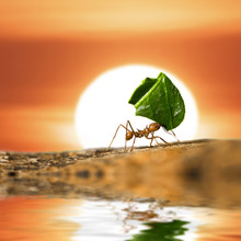 Leaf-cutter Ant Carrying Leaf Piece On Sunset Background
