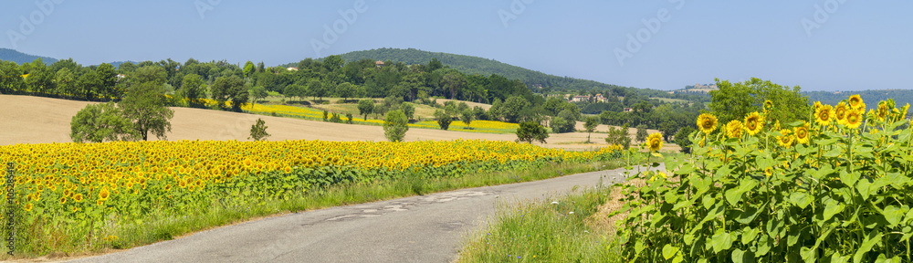 Fototapety, obrazy: panorama with road and sunflowers field  in tuscany in Italy