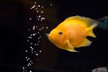 Yellow Cichlid Fish In Aquarium On Dark Background