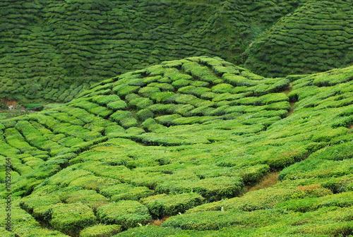 Photo  tea plantation terrace at Cameron Highland, Malaysia