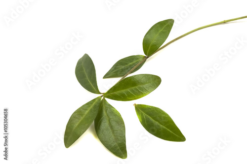 Fotomural branch with green leaves periwinkle