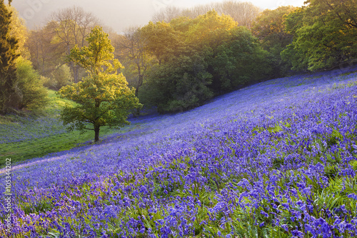 Plakát  Bluebells in the countryside, minterne Magna, Dorset, England, UK