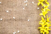 Fresh Yellow Forsythia Flower On A Vintage Jute Background