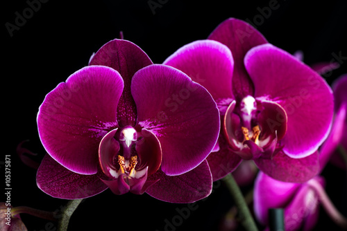 Poster Orchid dunkle lila Phalaenopsis Orchidee