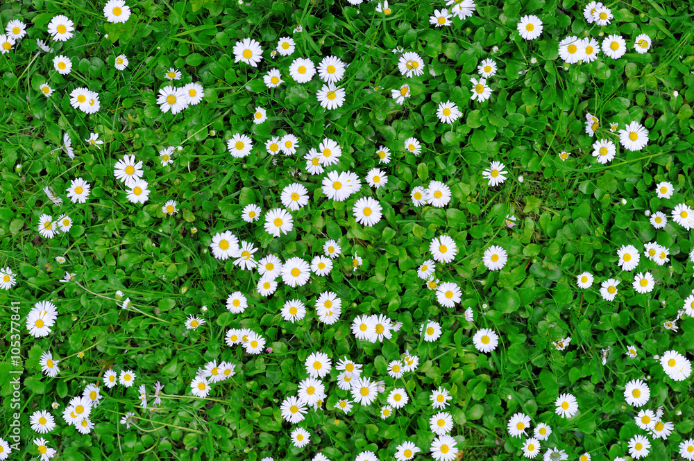 Fototapety, obrazy: Spring green grass texture with flowers