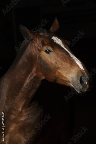 Fotografia  Portrait of a bay horse