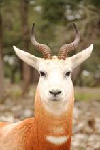 Dama Gazelle Portrait