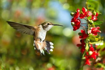Hummingbird over green background