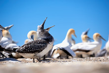 A Hungry Adolescent Gannet
