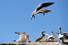 Gannet Getting Ready To Land