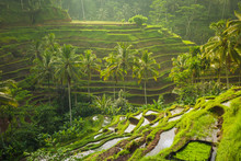 Beautiful Rice Terraces In The...