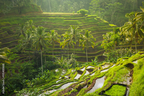 Garden Poster Rice fields Beautiful rice terraces in the moring light near Tegallalang village, Ubud, Bali, Indonesia.