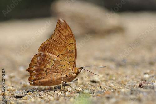 Photo  Close up of Tawny Rajah puddling on the ground in nature