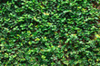 Leinwanddruck Bild - Ivy with leaves for pattern and background