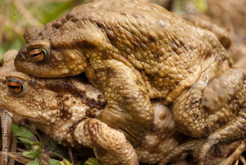 Fotografia, Obraz  Frogs in love